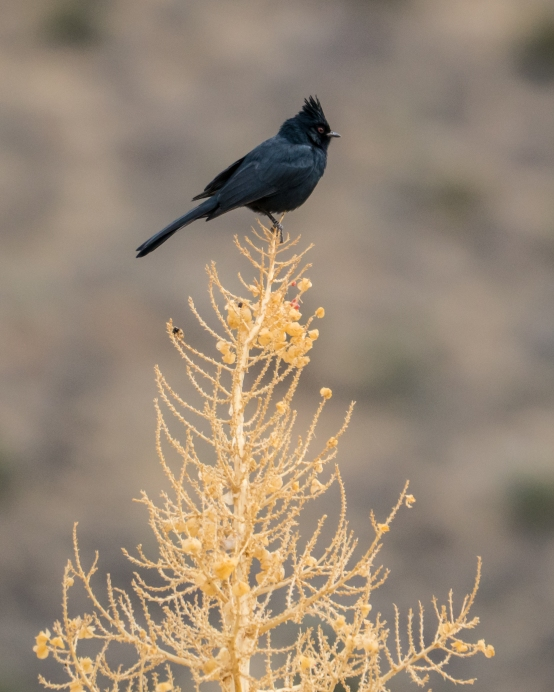"""The name Phainopepla means """"shining robe"""", a reference to the bright , silky plumage of the male."""