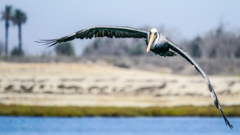 The Brown Pelican is a common sight at the Bolsa Chica Nature Preserve.