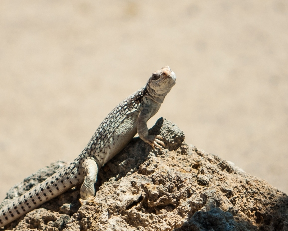 Though wasn't planning to shoot wildlife, I spotted this lizard sunning just outside the Maturango Museum in Ridgecrest, CA.